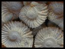 Ammonites - Atlas Mountains near Agadir, Morocco